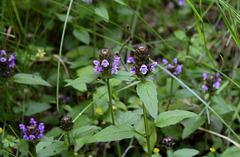 Prunella vulgaris, forme claire bicolore-001