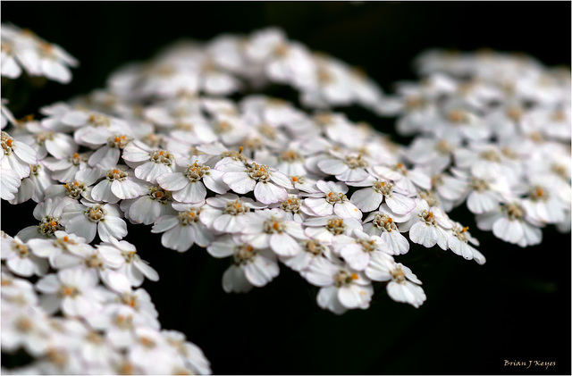 Yarrow In White