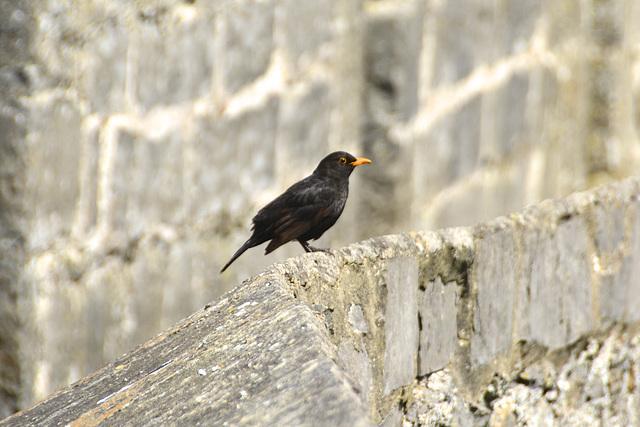 Isle of Man 2013 – Blackbird
