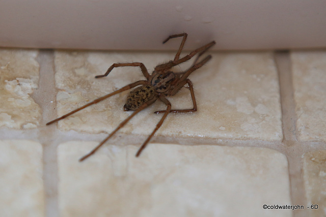When you are married to an arachnophile, you are not allowed to complain when you have company in the shower, but I am looking forward to the first female guest who spots one lurking under the soapdis