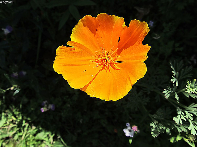 53 California poppy