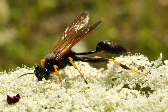 wasp-mud dauber - Sceliphron caementarium-CSC 9162