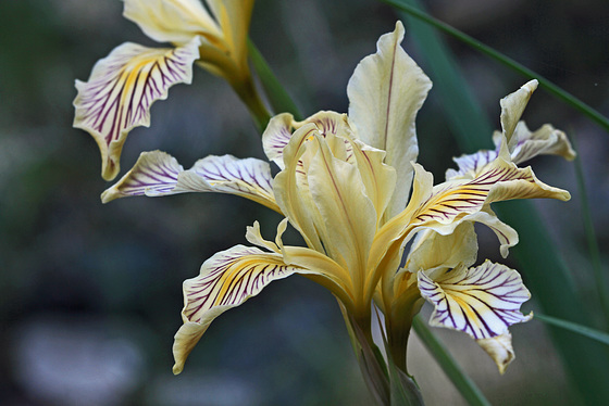 Siskiyou Iris