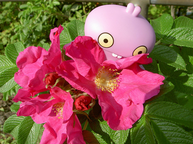 Babo found a rose that was still in bloom
