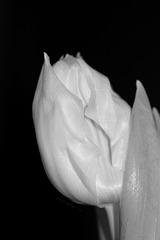 Tulpe in Schwarzweiß