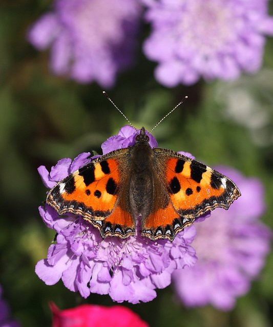 Small Tortoiseshell (Aglais urticae) butterfly