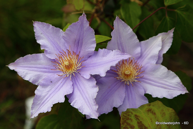 Clematis in Bloom - The President