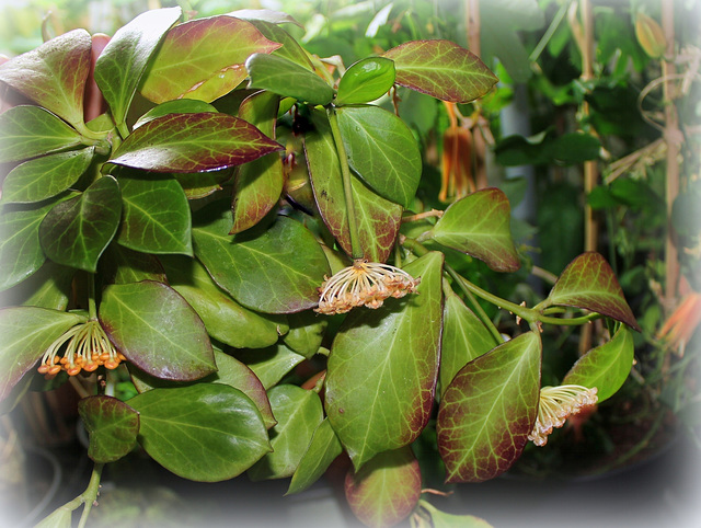 Hoya obscura