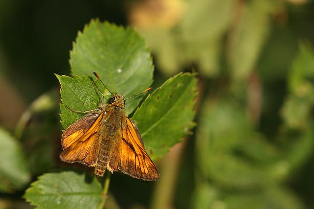 Large Skipper (Ochlodes faunus) butterfly