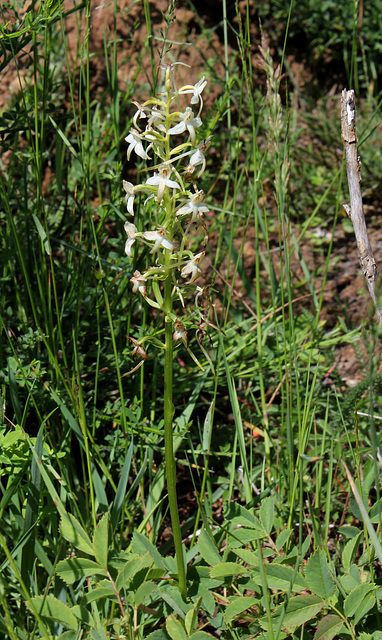 Platanthera bifolia (2)