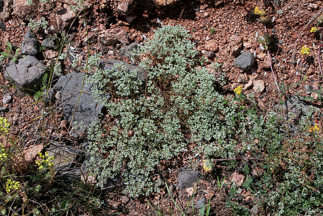 Scleranthus perennis- Scléranthe pérenne