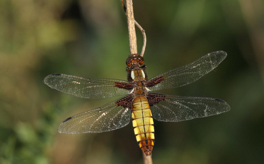 Broad-bodied libellula/chaser (Libellula depressa), I think