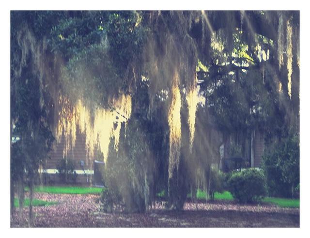 oaks in the sun