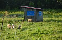 Those political sheep again