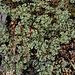 Scleranthus perennis- Scléranthe pérenne-001
