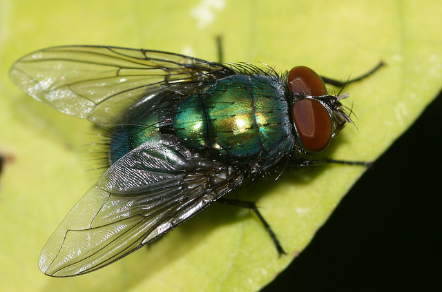 Greenbottle fly (Lucilia sericata)