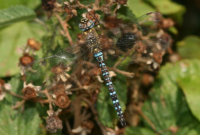 Migrant Hawker (Aeshna mixta) Dragonfly
