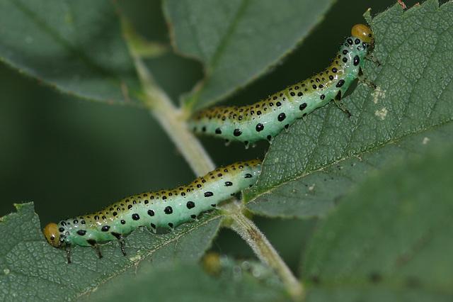 Rose Sawfly (Arge pagana) larvae