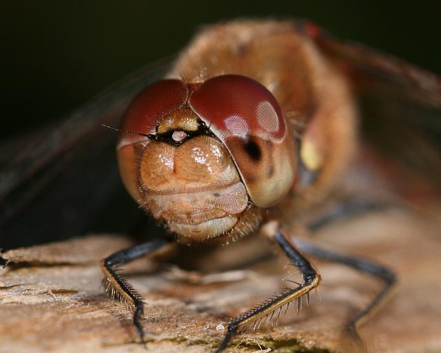 Common Darter (Sympetrum striolatum) Dragonfly