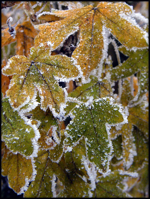 autumn frost leaves