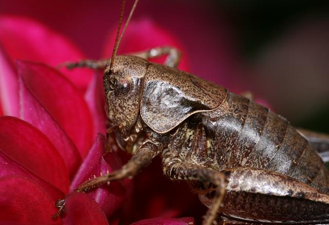 Dark Bush Cricket (Pholidoptera griseoaptera)