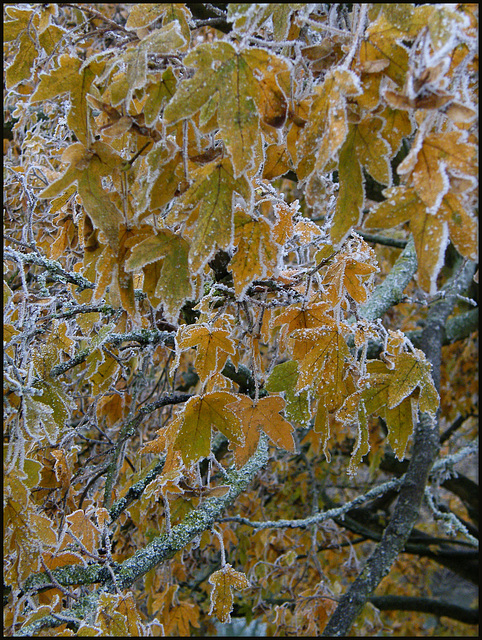 golden frost leaves