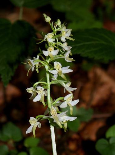 Platanthera bifolia (5)