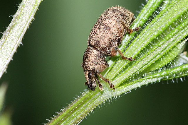 Weevil (I think)