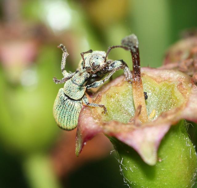 Weevil warfare