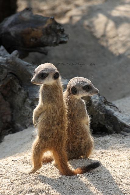Kleine Erdmännchen (Wilhelma)