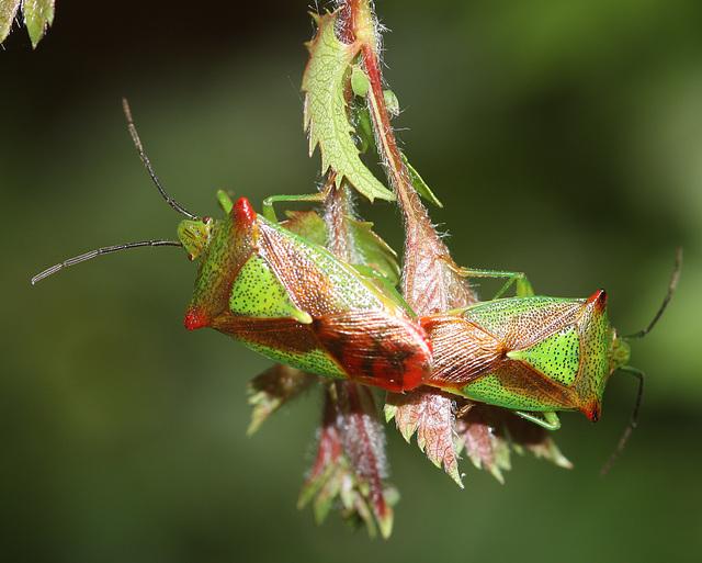 Shield bugs mating