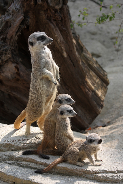 Familie Erdmännchen (Wilhelma)