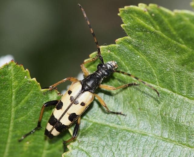 Longhorn beetle (I think)