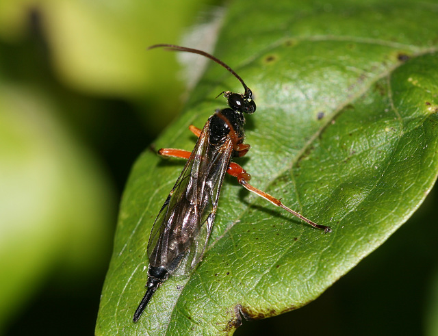 Ichneumon fly or wasp I think