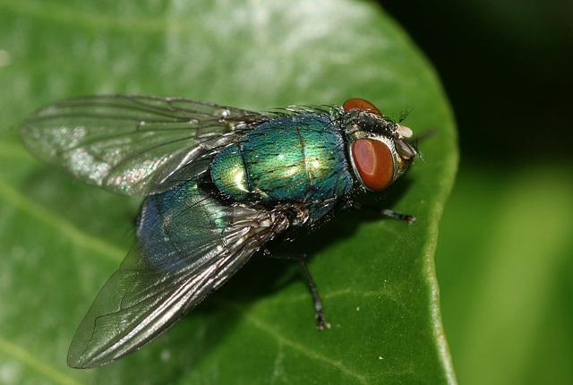 Greenbottle fly (Lucilia sericata)