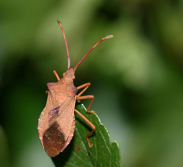 Box Bug (Gonocerus acuteangulatus)