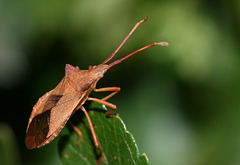 Box Bug (Gonocerus acuteangulatus)