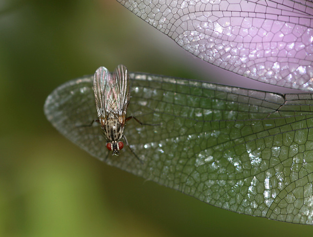 Fly on Migrant Hawker wing