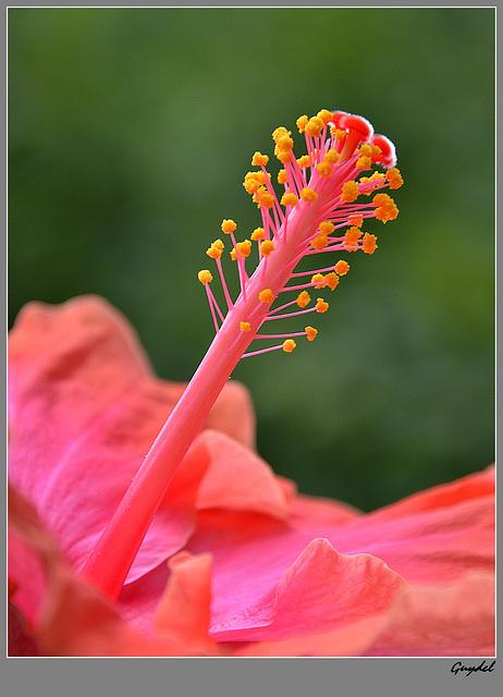 Coeur d'Hibiscus