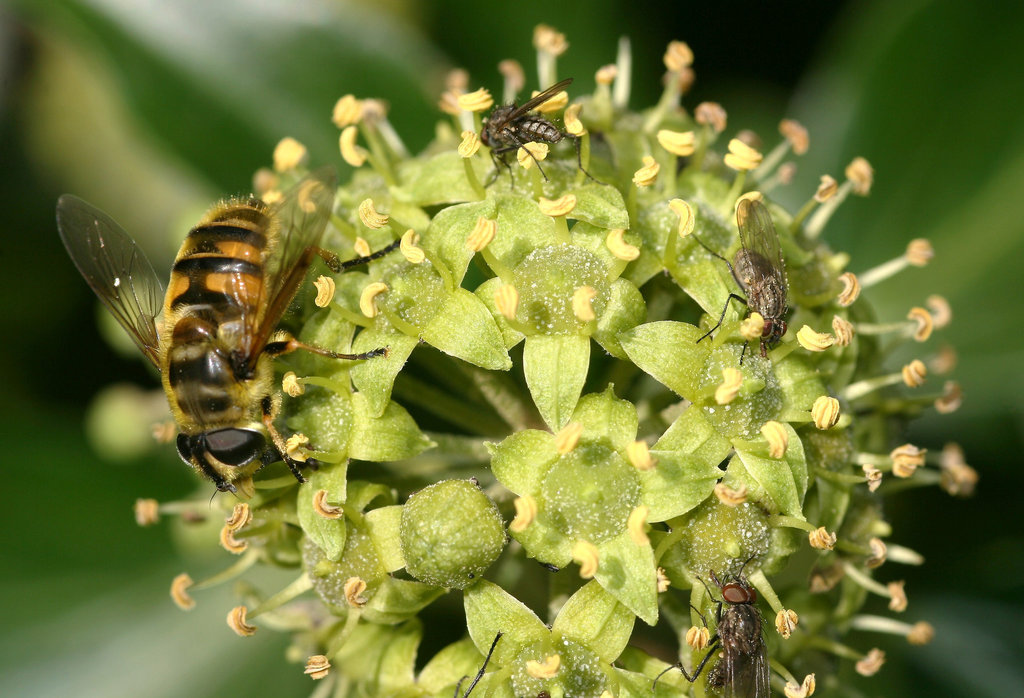 Hoverfly and flies