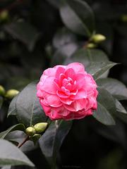 Kamelienblüte (Wilhelma)