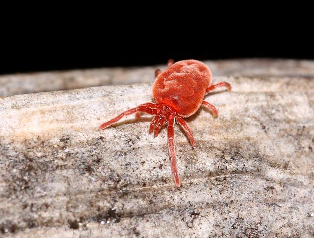 Red Spider Mite (I think)