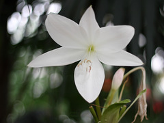 Blüte (Wilhelma)
