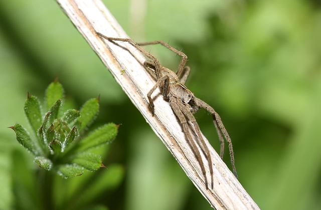 Wolf spider (Pisaura mirabilis)