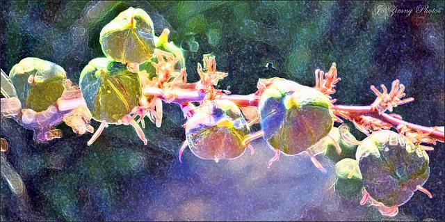 7 Yucca Pods