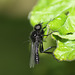 St Mark's fly (Bibio marci)