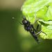 St Mark's fly (Bibio marci)