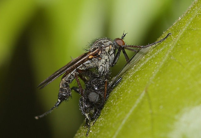 Empid/dance fly with prey of a St Mark's fly