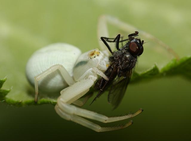 Common crab spider (Misumena vatia) and prey
