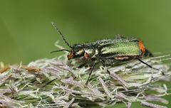 Common Malachite Beetle (Malachius Bipustulatus) I think